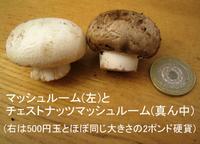 Mushroom_chestnut