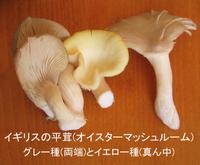 Mushroom_oyster