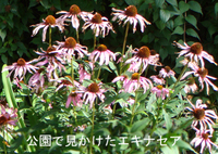 Echinacea_flower