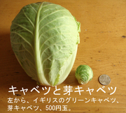 Brussels_sprout_cabbage