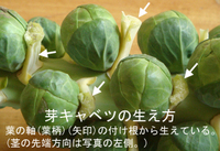Brussels_sprout_lateral_bud