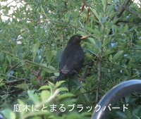Blackbird_tree