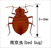 Coriander_bedbug