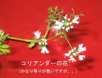 Coriander_flower
