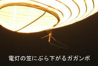 Cranefly_light