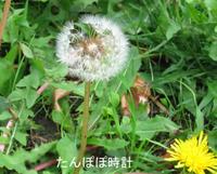 Dandelion_clock_2