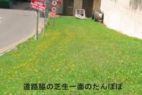 Dandelion_lawn