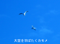 Gull_flying