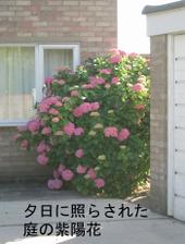 Hydrangea_garden