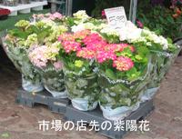 Hydrangea_market_4