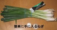 Spring_onion