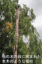 Telegraph_pole_tree