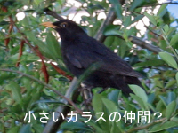 What_blackbird